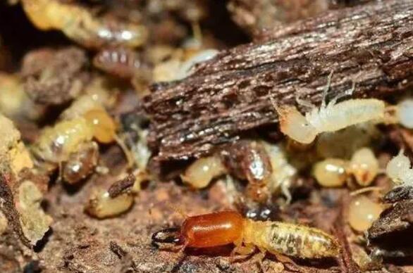 重庆除白蚁-现代高层建筑会不会有白蚁危害?